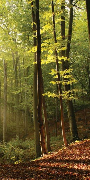 Fototapeta na zeď Forest (1-dílná vliesová fototapeta)