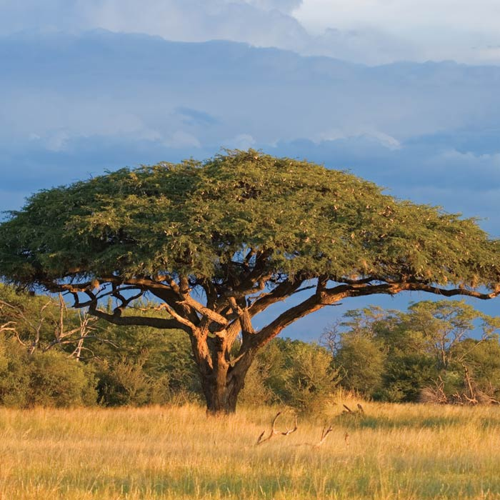 Fototapeta na zeď Acacia Tree L-127 (Vliesová fototapeta)
