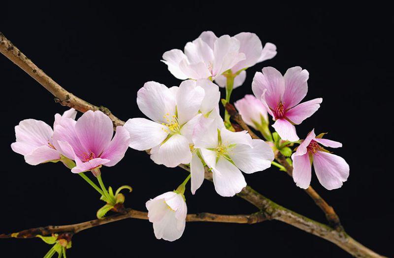 Plakát na zeď Cherry Blossoms 115 x 175 cm 627 (Papírový plakát Gian Art)