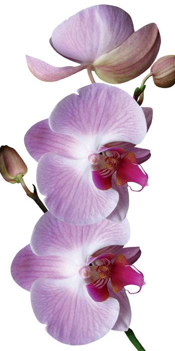Fototapety na podlahu Dimex Orchid FL85-015 85x170 cm (1-dílná laminovaná fototapeta)