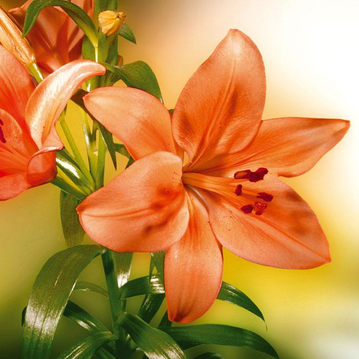 Fototapety na podlahu Dimex Lily FL170-021 170x170 cm (2-dílná laminovaná fototapeta)
