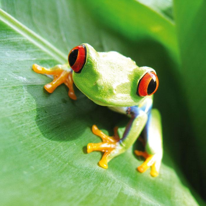 Fototapety na podlahu Dimex Frog FL170-030 170x170 cm (2-dílná laminovaná fototapeta)